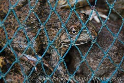 Philippines edible frog palaka kabakab chinese bullfrog Hoplobatrachus rugulosus