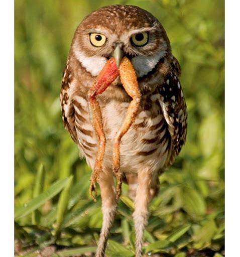 Owl-frog_1817673i_thumb[16]